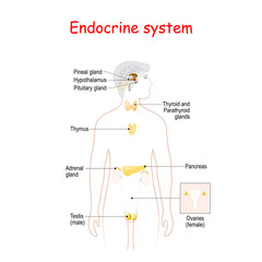 endocrine glands. Human silhouette with highlighted internal organs.