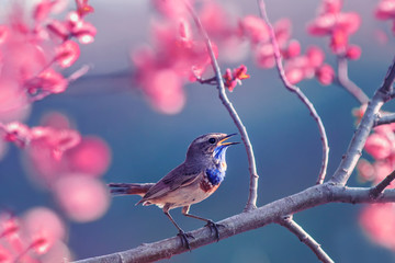 Foto op Canvas Tuin beautiful little Bluethroat bird with blue throat sits on a blooming rose Bush and sings in the may Sunny garden
