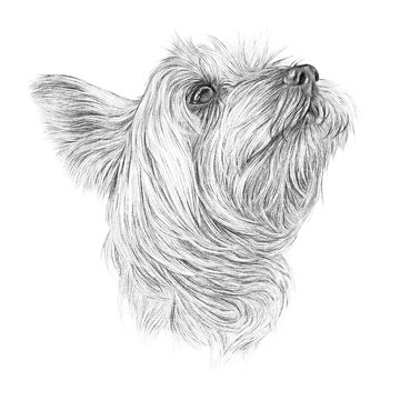Black and white drawing of Yorkshire Terrier isolated on white background. Illustration of a Lap Dog. Cute puppy. Hand drawn illustration of pet. Animal art collection: Dogs. Good for print T shirt