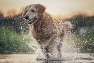 Obraz Dog running in the water - fototapety do salonu