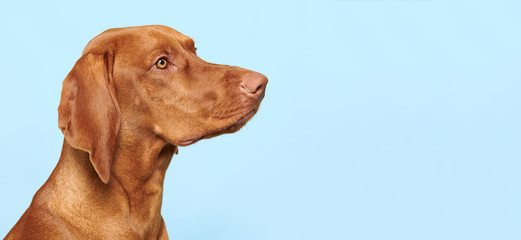 Cute hungarian vizsla puppy side view studio portrait. Dog looking to the side headshot over blue background banner.