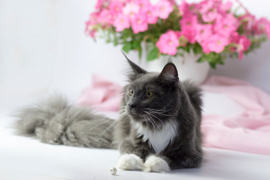 Big beautiful main coon cat. Kitten age 6 months . Blue and white color. Cat on light background. Pink flowers.