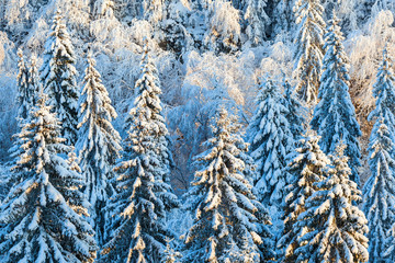 Winter in the forest with snow on the spruce trees