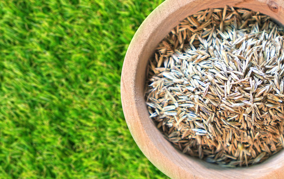 Lawn grass seeds background with copy space