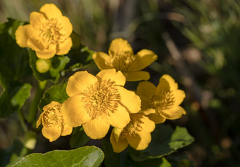 Kingcup or Marsh Marigold - Caltha palustris - wild flowers