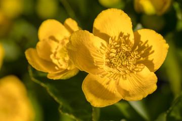 Kingcup or Marsh Marigold - Caltha palustris flowers close up