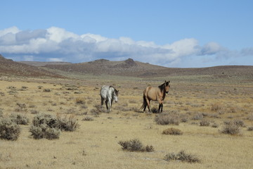 Wild horses roaming the open range, off the lower Tioga Pass, Eastern Sierra Nevada Foothills, California.