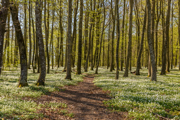 Path through the spring flowers in the beech forest - wood anemone, windflower, thimbleweed, smell fox - Anemone nemorosa - in Larvik, Norway