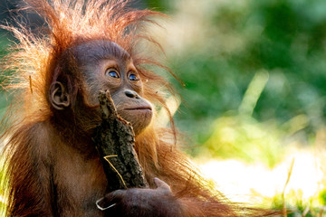 Foto op Canvas Aap Orang-Utan baby playing with a stick