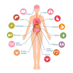 Diagram of the major human body internal organs. Visual, teaching aid, study guide. Inside anatomical structure.