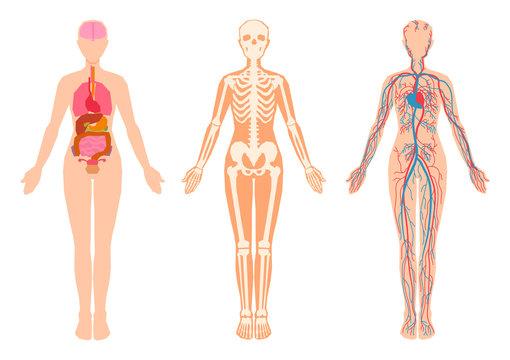 Human body internal organs, skeleton, skeletal bones, circulatory cardiovascular system.