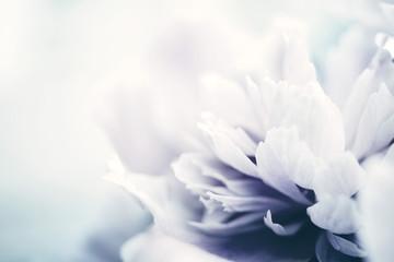 Foto op Canvas Bloemen Peony flowers close-up, soft focus, toned. Gentle floral background