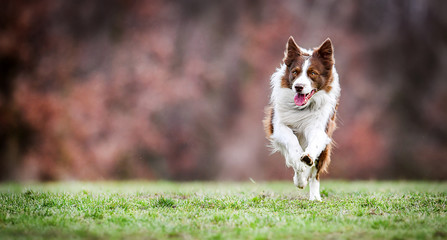 Adult brown white border collie run very fast in training day. Happy dog jump side view. Fotobehang