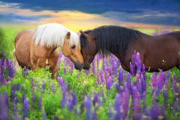 Fotobehang Paarden Palomino and bay horse with long mane in lupine flowers at sunset