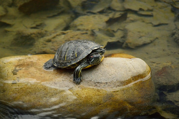 turtle in water Wall mural