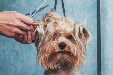 Photo sur Toile Chien woman hand Grooming Yorkshire terrier dog