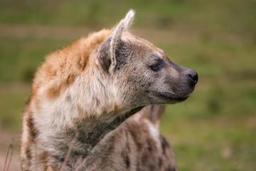 Fotobehang Hyena Gevlekte hyena kijk om zich heen