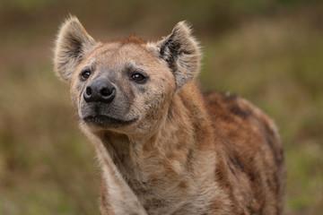 Deurstickers Hyena Nieuwsgierige hyena