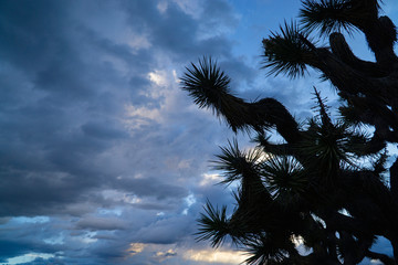 Joshua tree against blue sky