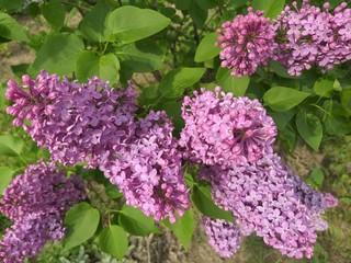 Keuken foto achterwand Lilac Lilac, flowers spring in the garden