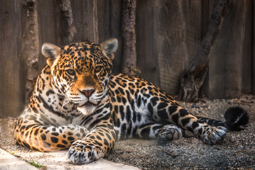 Portrait of Leopard (Panthera pardus kotiya) Lying and Taking Rest in Paddock at ZOO