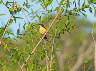 A Black-capped Donacobius in the Pantanal