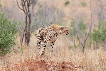 Cheetah standing on a termite mount in the early morning, preparing to hunt, in Kruger National Park, South Africa