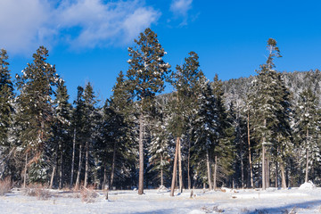 Winter scene of pine trees covered in snow above a snowy meadow