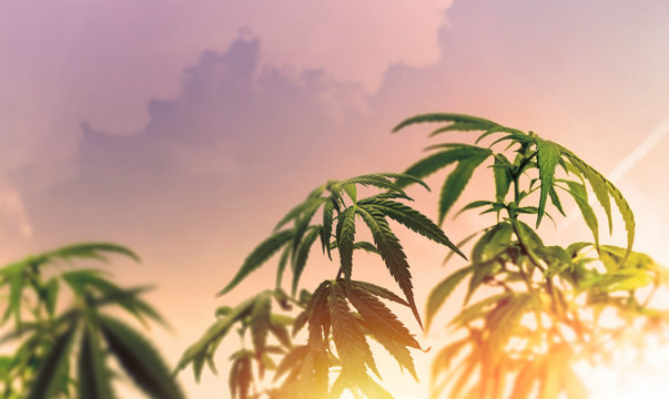 Low angle of industrial Cannabis Hemp plant against sky at sunset