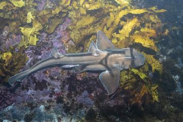 Port Jackson shark underwater photo