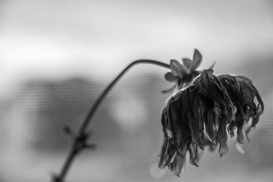 Black and White side view of wilted yellow dahlia with drooping petals