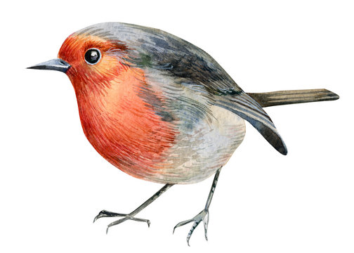 robin birds on an isolated white background, watercolor illustration, hand drawing, postcard