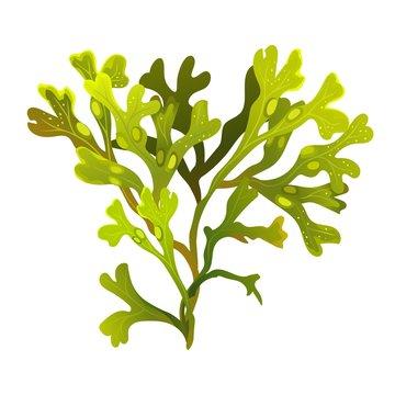Algae fucus isolated on white. Bladderwrack. Vesiculosus. Vector illustration
