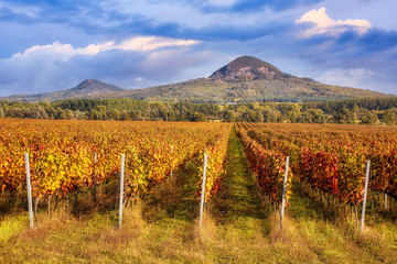 Wall Murals Vineyard Beautiful rows of grapes in autumn time in Hungary
