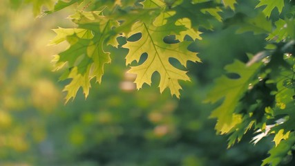 Sticker - Oak tree leaves foliage in park. Closeup, shallow DOF. 4K UHD.