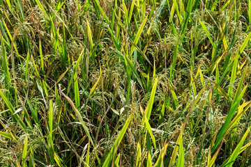 yellow green ear rice field close up