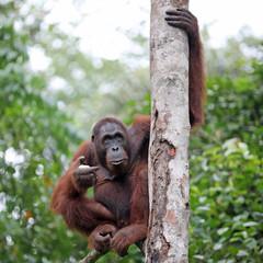 Orang Utan sitzt auf einem Ast