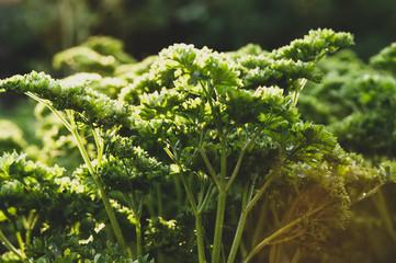 fresh parsley a drop of water sunlight