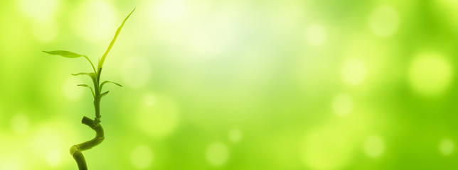 glücksbambus im sonnenschein