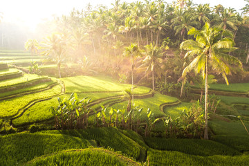 Touristic iconic rice field in Bali, Indonesia. Beautiful sunlight during the sunrise on Tegallalang rice terrace