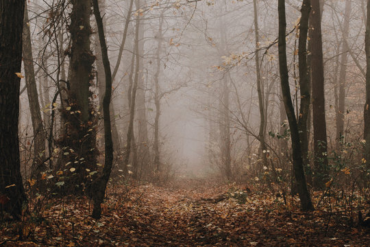 Mysterious dark foggy autumn forest. Pathway among high trees at fading woodland.