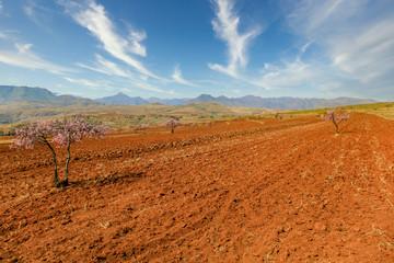 Orange field in Lesotho, Africa
