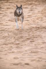 Husky am Strand