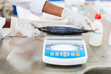 Fish to be weighed in laboratory, scale and scientist hands.