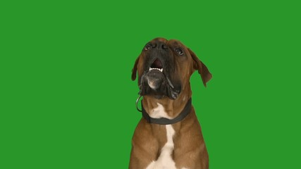 Boxer Dog Sitting Photos Royalty Free Images Graphics
