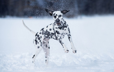 Dog breed Dalmatian winter in the snow playing with a ball, jumping on the lake in the snow