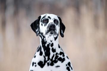 Dog breed Dalmatian winter in the snow portrait closeup