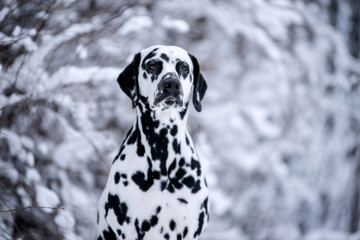 Dog breed Dalmatian winter in the snow portrait close-up on the background of strewn bushes
