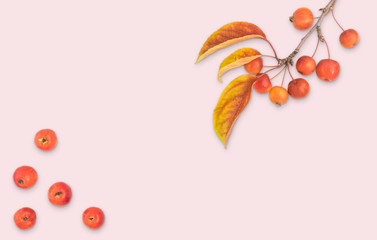 Autumn composition leaves fruits and branch of malus floribunda on rose pink pastel color background top view flat lay copyspace