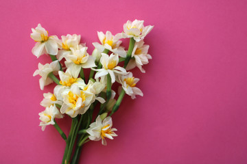 bouquet of white narcissus flowers on pink